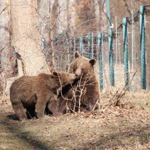 Urși în rezervația de la Zărnești.